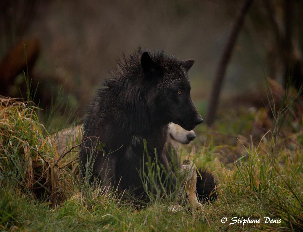 Loups de Chabrières Déc 2017
