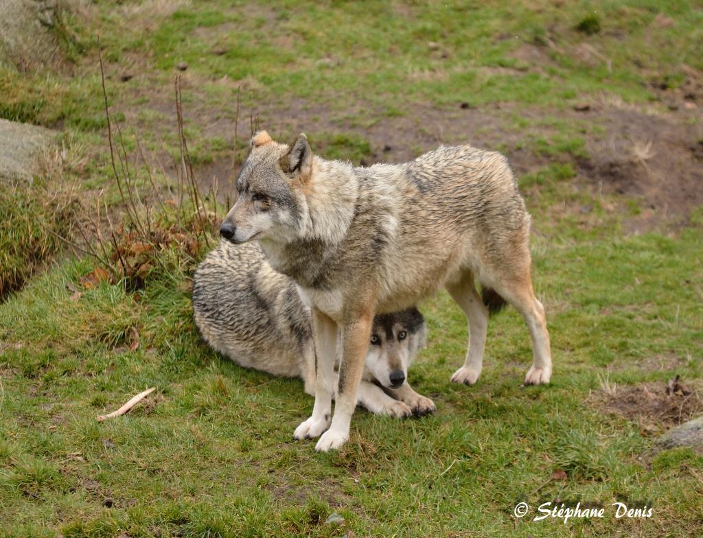 Loups de Chabrières 2017