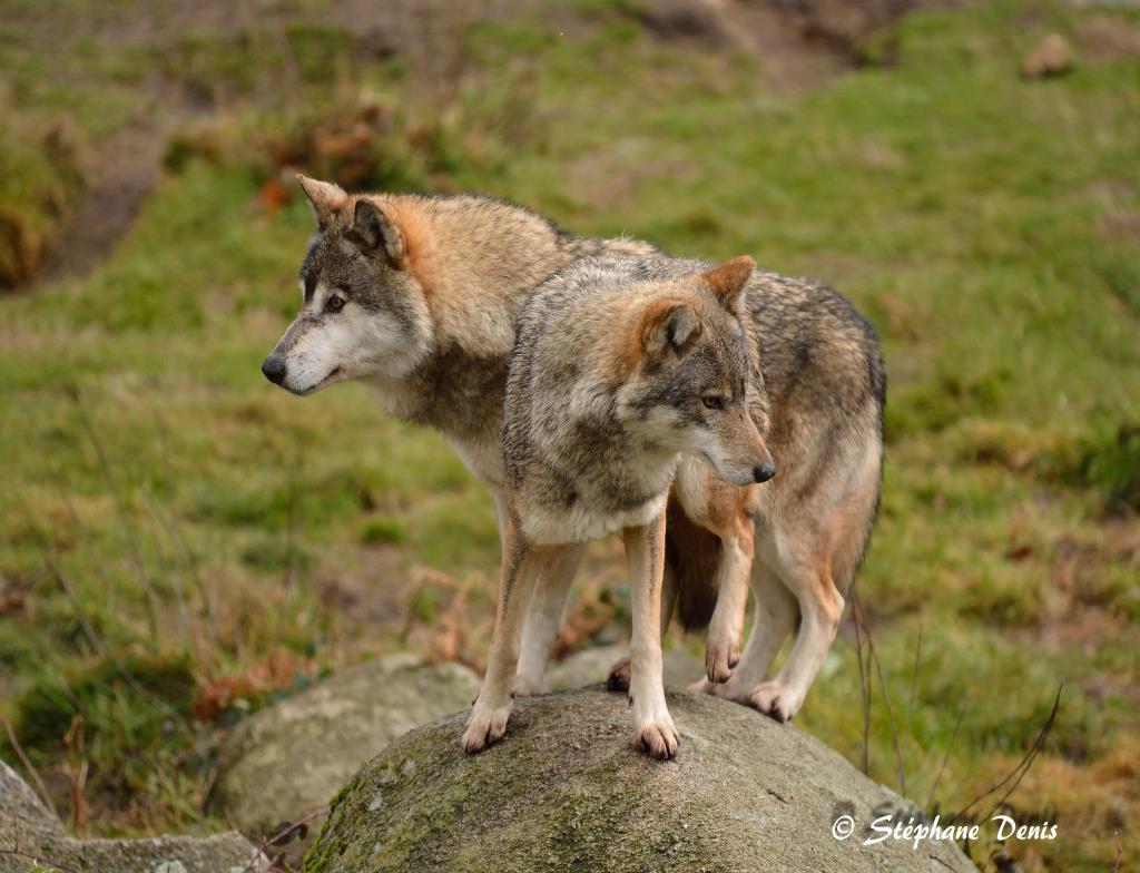 Loups Gris Européen
